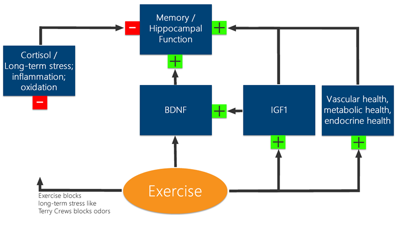 Exercise enhances memory by ameliorating the effects of stress, raising BDNF and IGF1 and contributing to generally favorable vascular and metabolic environments